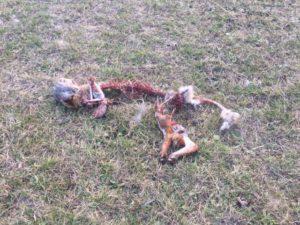 Fox remains