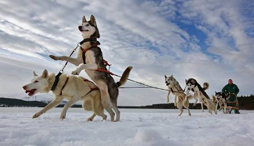 Dog sledding for non skiers La Tania
